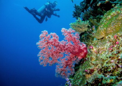 Pink soft coral with a swimmer in the background by Roman Tiraspolsky 
